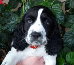 Kammerud's Crown Springer Spaniels